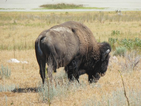 Exclusive Excursions: This Bison friend walked right in front of our car on Antelope Island!