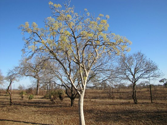 Satara Rest Camp: Carrot Tree on the grounds