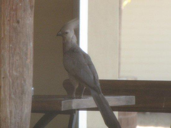 Satara Rest Camp: Go Away Bird on patio