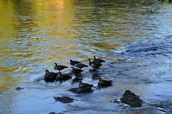 The Royal Coachman Motel: Wild geese out back on the river