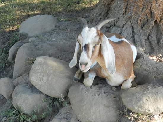 Once In A Blue Moon Farm : Friendly Goat