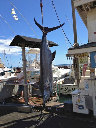 Start Me Up, Sport Fishing : 350lb blue marlin landed on Start Me Up August 8