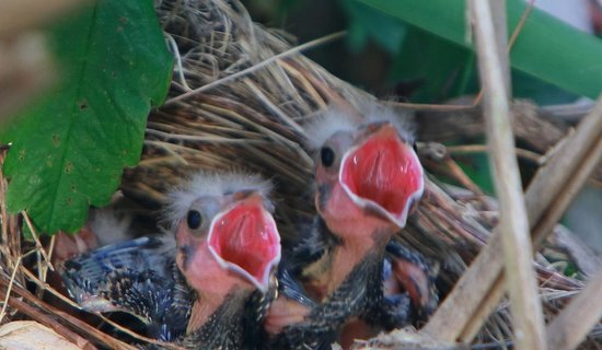 Juanita Bay Park: The Hungry Baby Blackbirds