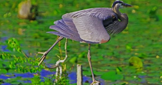 Juanita Bay Park: The Still Heron
