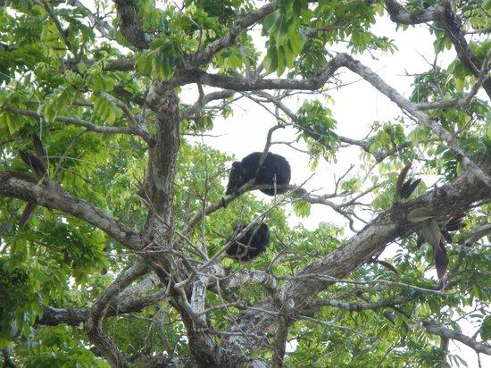 Black Orchid Resort: Howler monkeys in the trees