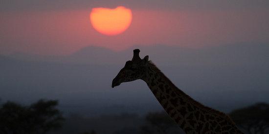 Ndarakwai Ranch Camp: Giraffe at sunset!