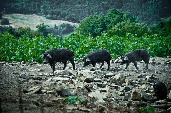 La Tavola dei Cavalieri: i maialini allo stato brado