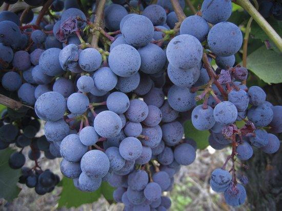 Santo Stefano Belbo, Italia: Le nostre uve