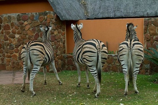 Blyde River Canyon Lodge: Zebres