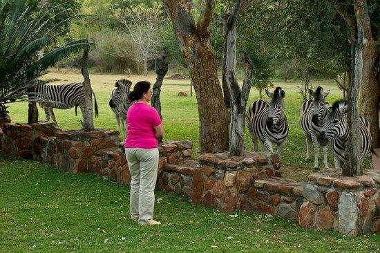 Blyde River Canyon Lodge: La visite des zèbres sur la terrasse