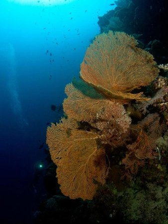 Lissenung Island Resort: Huge sea fans - unbelievable