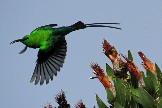 Newlands, Sør-Afrika: Malachite Sunbird taking off