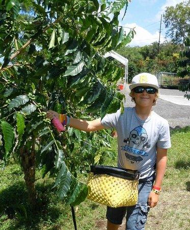 Hula Daddy Kona Coffee: Learning How to Pick Coffee Beans