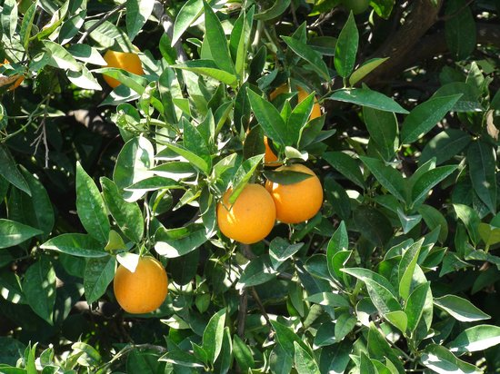 Yialasi: orangers bordant l hotel