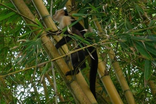 Ylang Ylang Beach Resort: More monkeys!!!