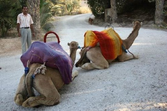 Jnane Tamsna: The camels waiting right in front of the villa