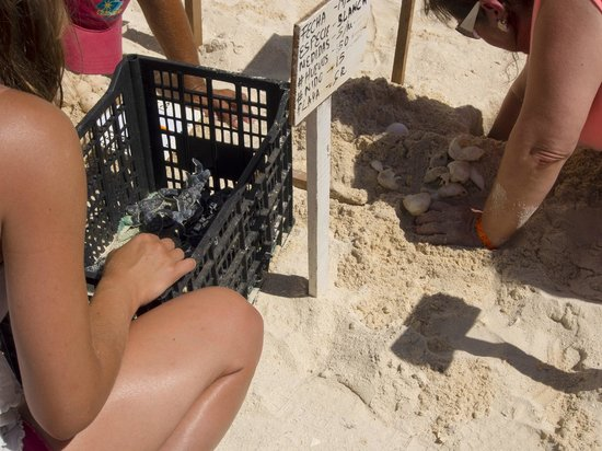 GR Solaris Cancun: Every night they release sea turtles into the Ocean during the day they dig up the hatchlings