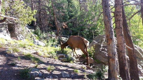 Streamside on Fall River: Bear Lake elk.