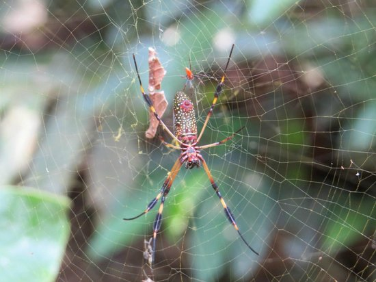 Playa Nicuesa Rainforest Lodge : Orb spider - walking the grounds