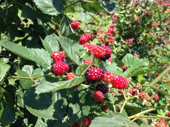 Hill Top Berry Farm & Winery: Fresh blackberries for the picking