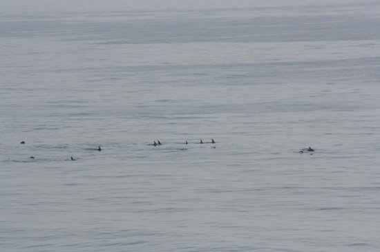 Atlantic Oceanfront Inn: Dolphins seen from the balcony.