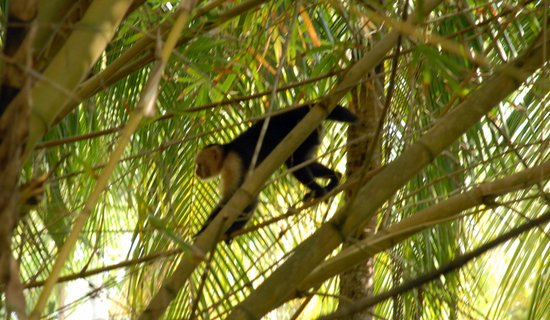 Ylang Ylang Beach Resort: Squirrel Monkeys on the grounds
