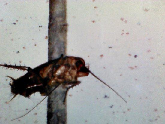 Les Pyramides : Kakerlake die wir in unserem Zimmer erschlagen haben