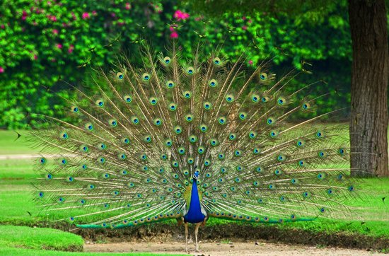 The Oberoi Rajvilas: Peacock dance