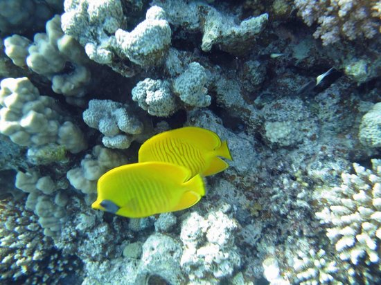 The Breakers Diving & Surfing Lodge: Butterfly fish