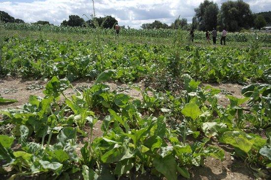Parkside Farm: Spinach