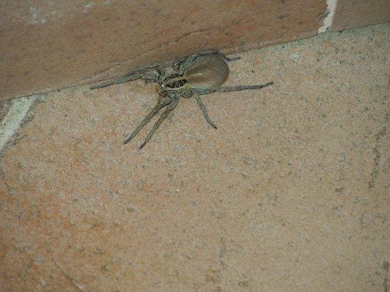 Scarlino, Italy: Ecco il Ragno che mi sono trovata nell'appartamento.