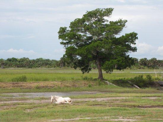 Cumberland Island National Seashore : Beautiful white foal lounging