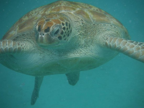 Mango Bay All Inclusive: Swimming with the turtles