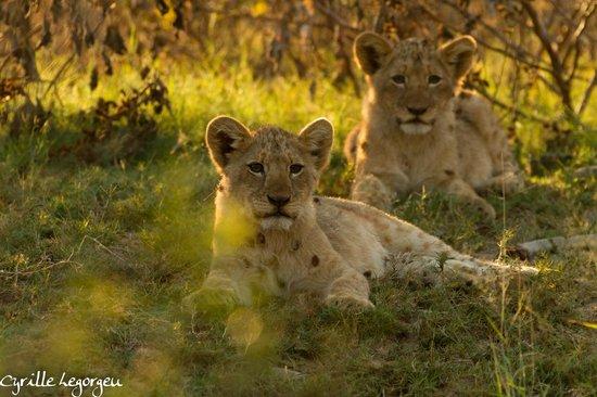 Sausage Tree Safari Camp : Lionceaux