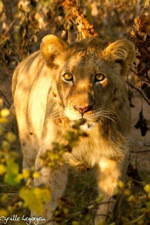 Sausage Tree Safari Camp : Lionne