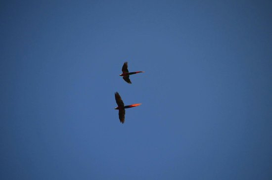 Casa Corcovado Jungle Lodge: macaws flying over lodge
