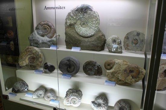 Orkney Fossil and Heritage Centre: Ammonites