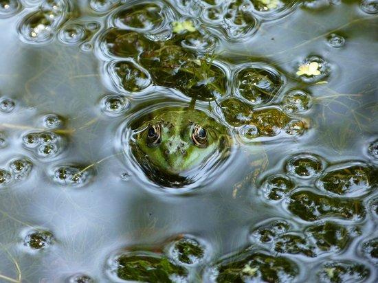 L'Ostal en Perigord: mare aux grenouilles