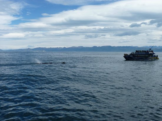 Whale Watch Kaikoura : A sperm whale being watched by one of the whale watching vessels.