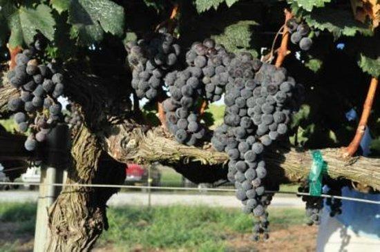 Singing Water Vineyards: Estate Merlot grapes