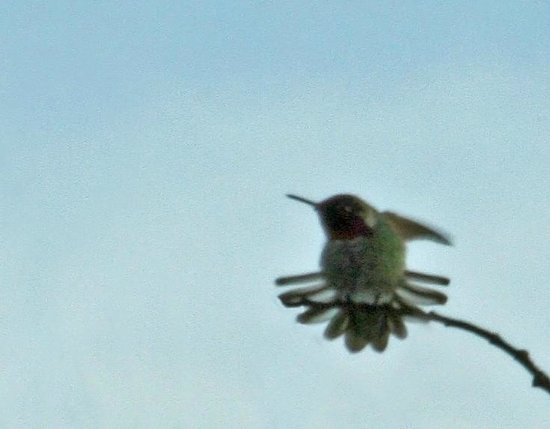 A View With A Room : Hummingbird Showing Off