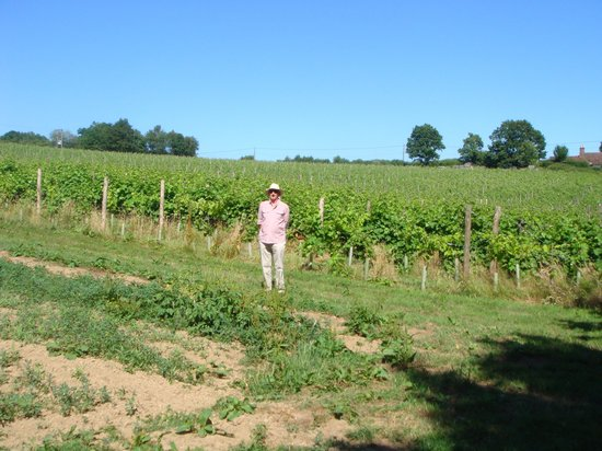 Sedlescombe Organic Vineyard: With the vines