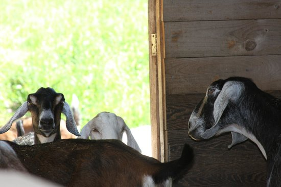 Trevin Farms: Goat - warm and cozy