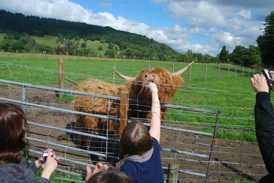 The Hairy Coo - Free Scottish Highlands Tour: Feeding a Hairy Coo