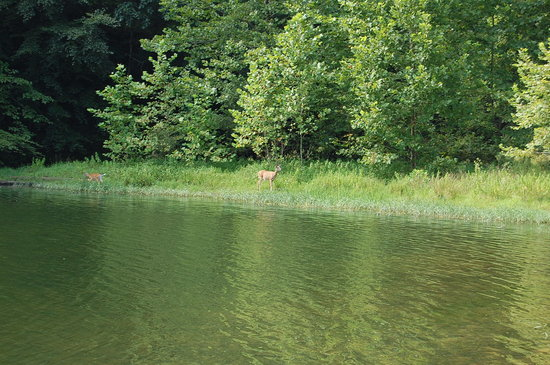 Greenbo Lake State Resort (Jesse Stuart Lodge): a deer drinking at the Green Bo Marina