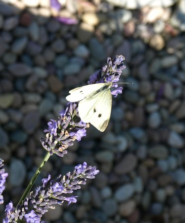 Pounds Farm B&B: Little White butterfly on the lavender
