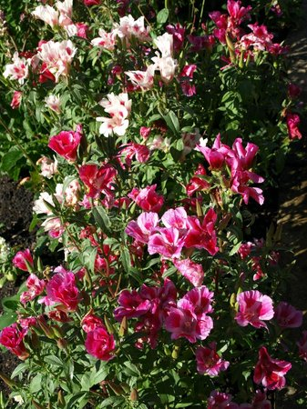 Pounds Farm B&B: Godetia in the front garden.