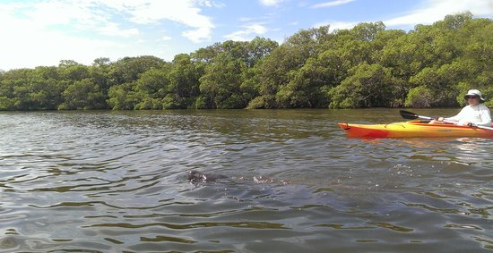 Siesta Paddle Sports: Manatee Encounter