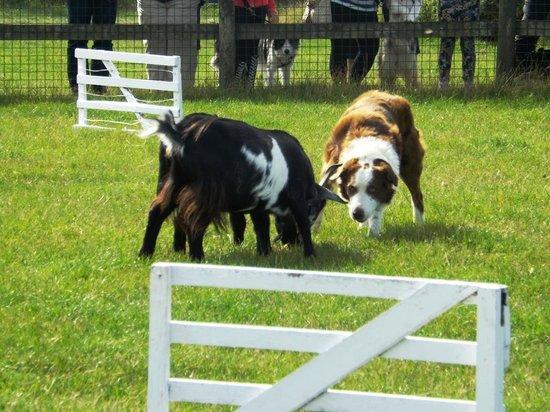 Pembrokeshire Sheepdogs
