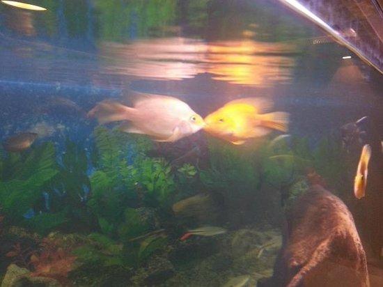 Kasato Sushi: Beijo de namorados do aquário lindo que o restaurante possui!